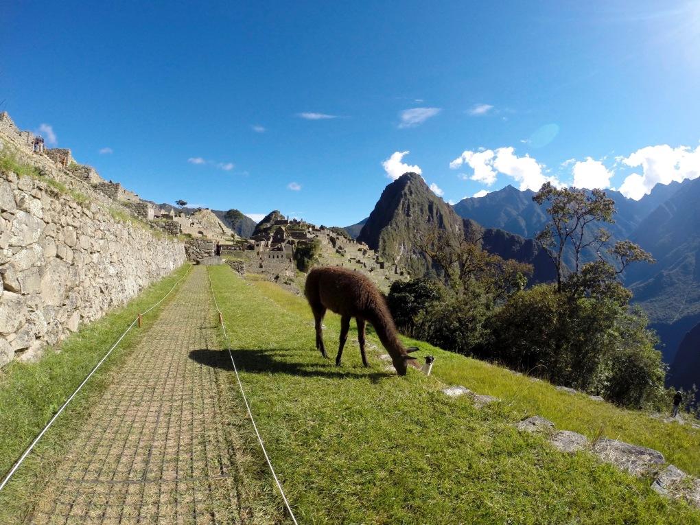 Alpacas atop the ruins of Machu Picchu, Peru