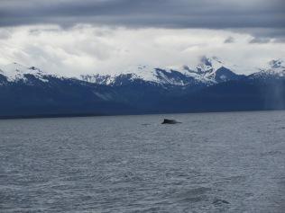 Humpback whales in Juneau, Alaska