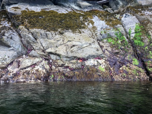 Star fish on the rocks during low tied in Ketchikan, Alaska