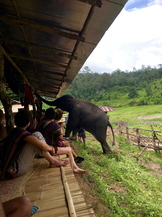Baby elephant joining us for lunch at the Elephant Jungle Sanctuary outside of Chiang Mai, Thailand