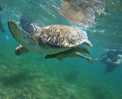 Snorkeling with a sea turtle in Mexico