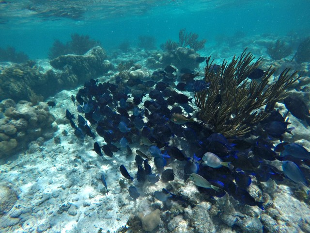 A school of purple fish in the reefs in Mexico