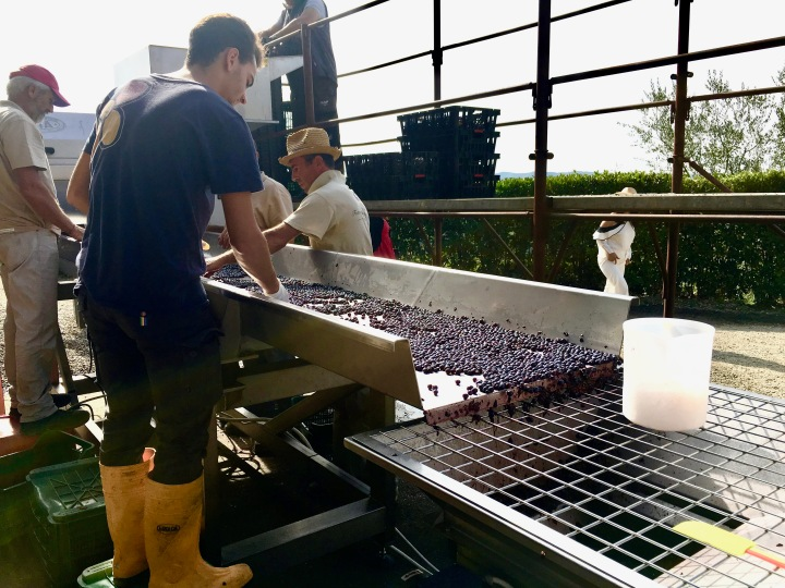 Grape sorting at the Montemaggio vineyard in Tuscany, Italy