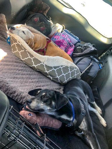 Our dogs on our long road trip to Big Bend National Park
